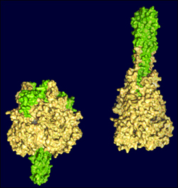The Molecular Structure of a Key Viral Protein