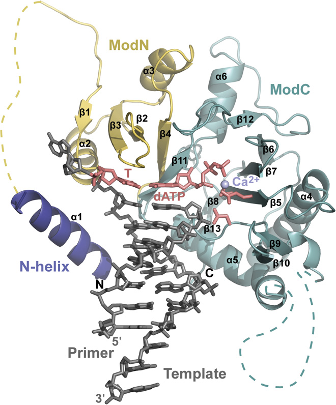 Solving the Structure of a Key DNA Replication Protein