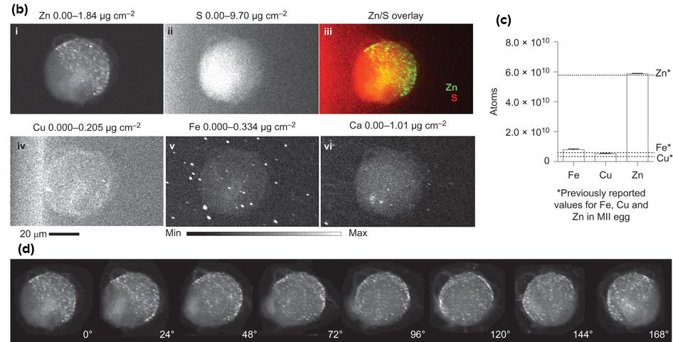 Stunning Zinc Fireworks When Egg Meets Sperm