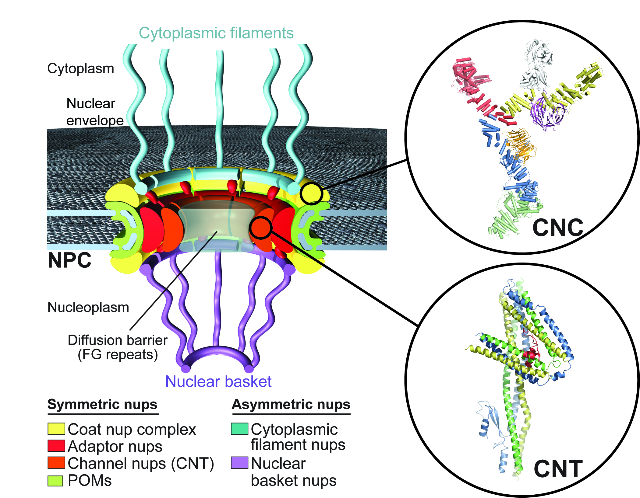 Unfolding the Mystery of the Nuclear Pore Complex ...