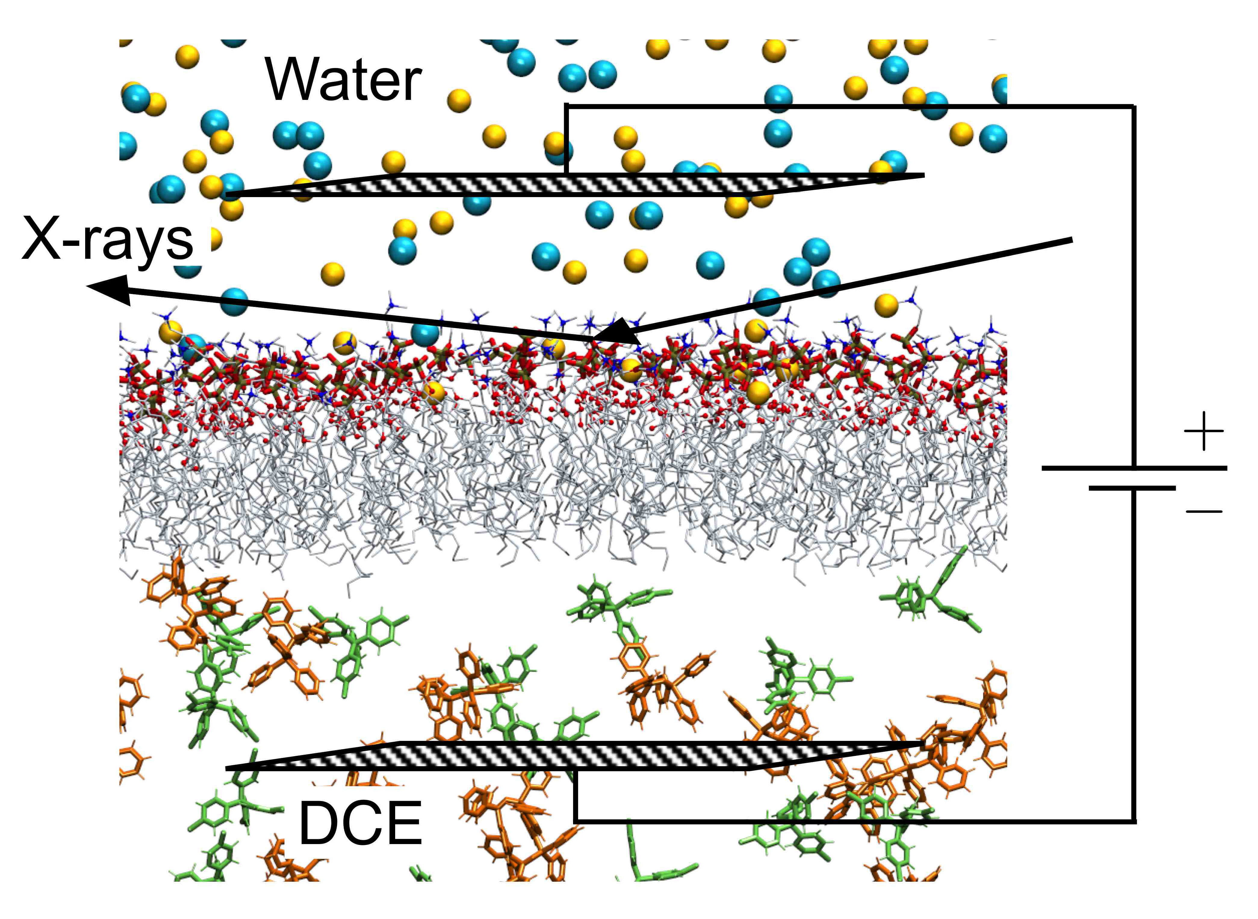 Membrane Potential Shapes Biological Membranes
